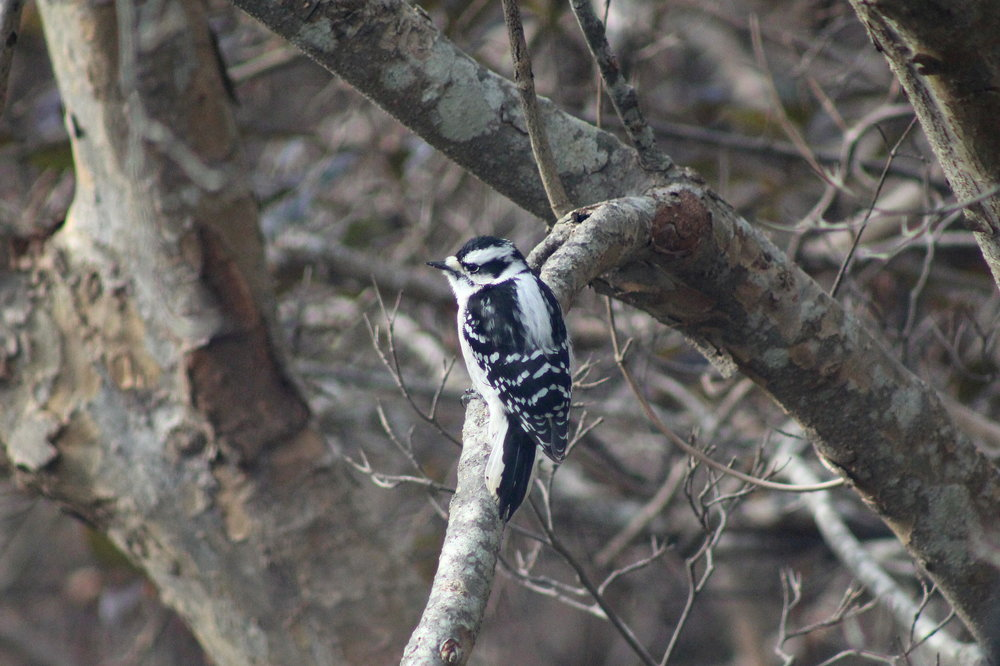 12-8-17 female downy woodpecker.JPG
