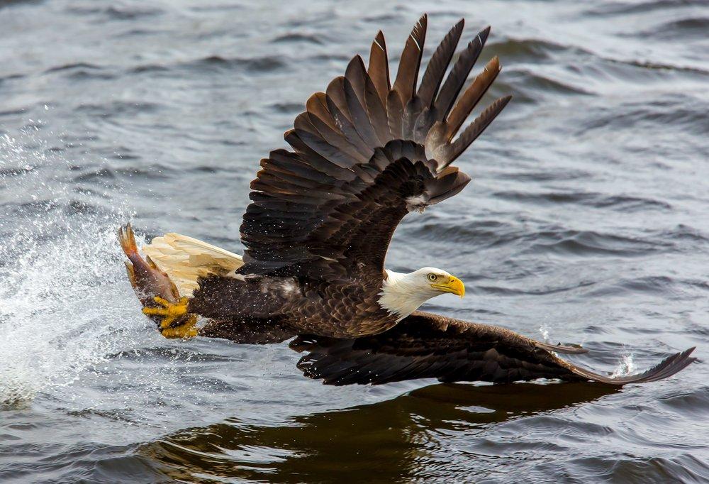 bald_eagle_fish.jpg