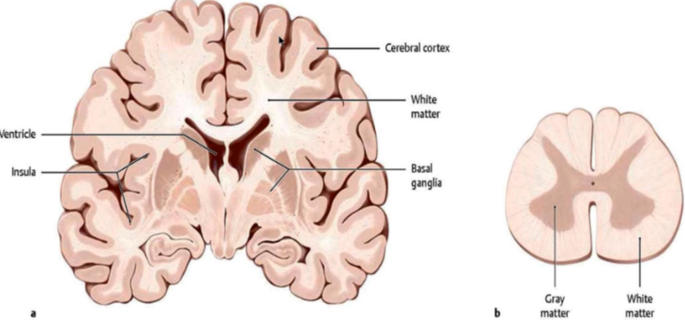 Distribution of grey and white matter in the brain