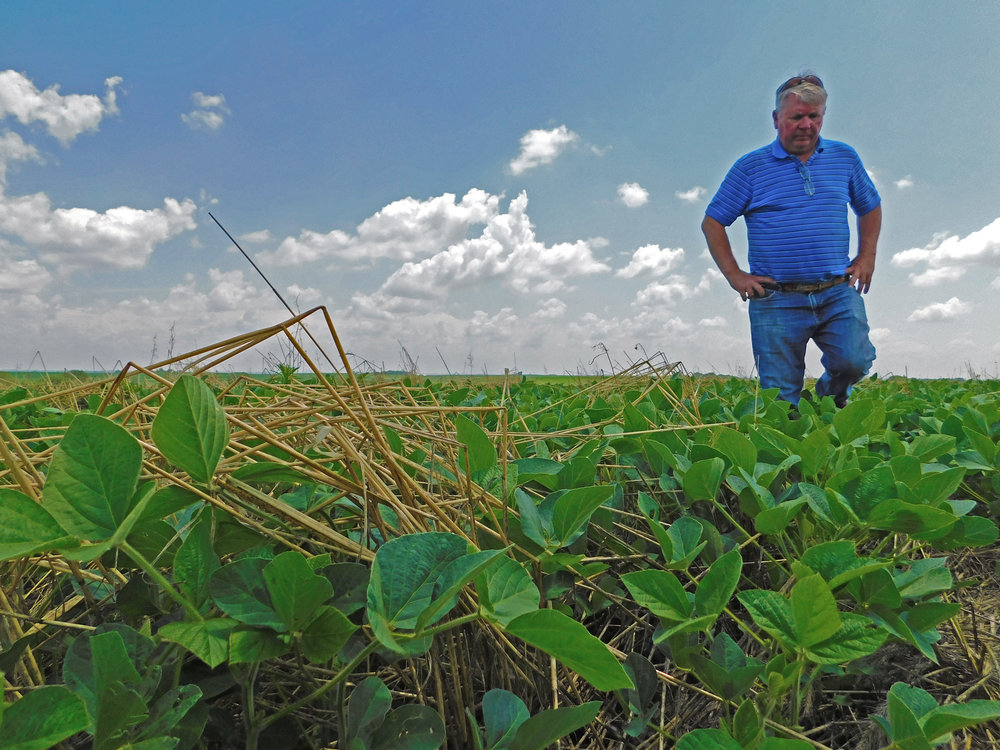 Gary Johnson, a Montgomery County farmer, walks through his field of soybeans to view the benefits of his cover crop.