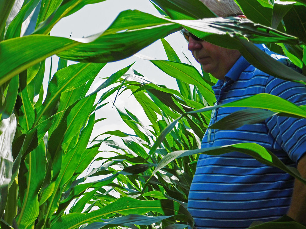 Johnson examines his corn crop on a hot July afternoon.