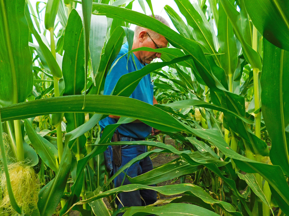 Black Hawk county farmer, Leonard Youngblut, observes the condition of his corn crop.