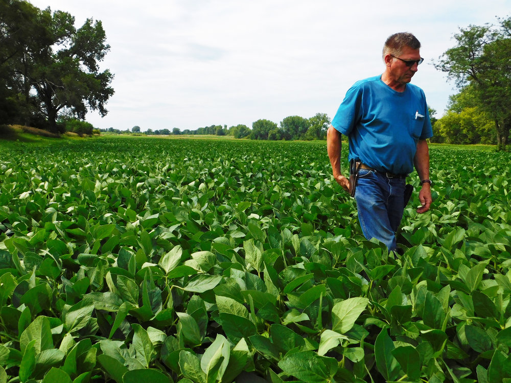 Youngblut walks through his field of soybeans in rural Black Hawk County.