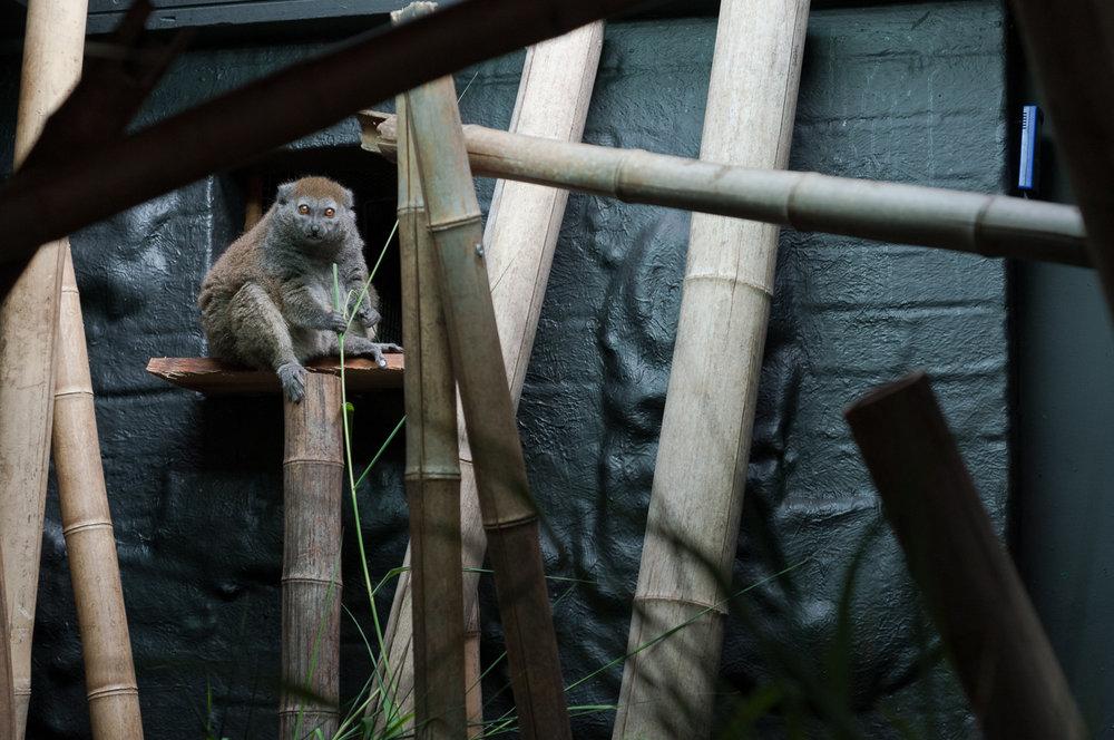 nocturnal-grass-lemur.jpg