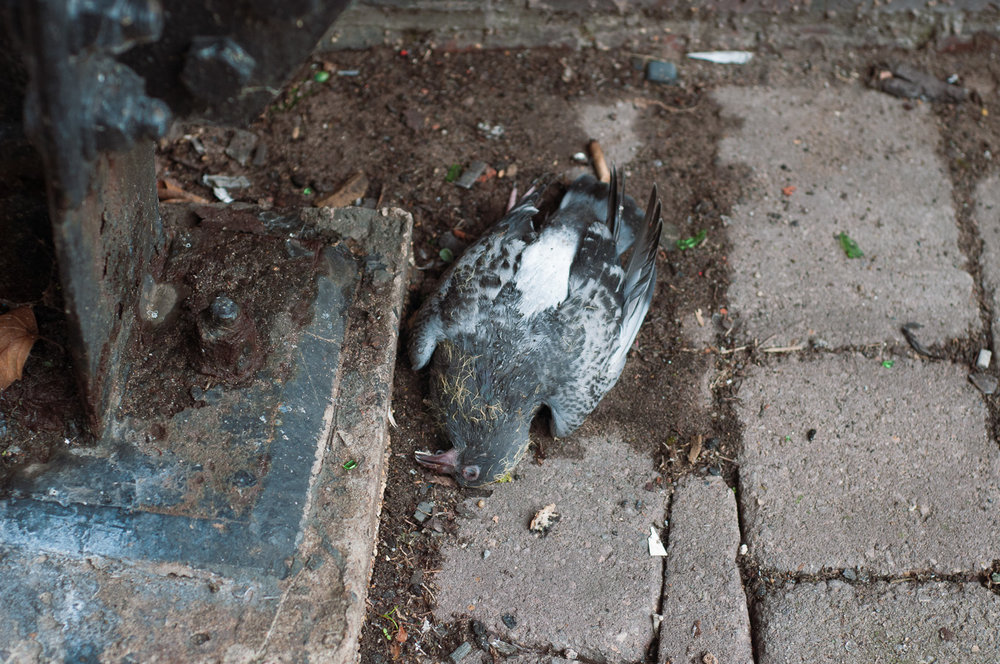 dead-pigeon.jpg