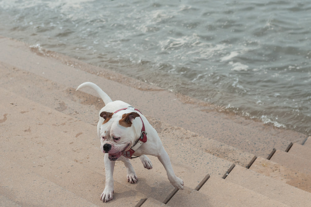 blackpool-american-bulldog.jpg