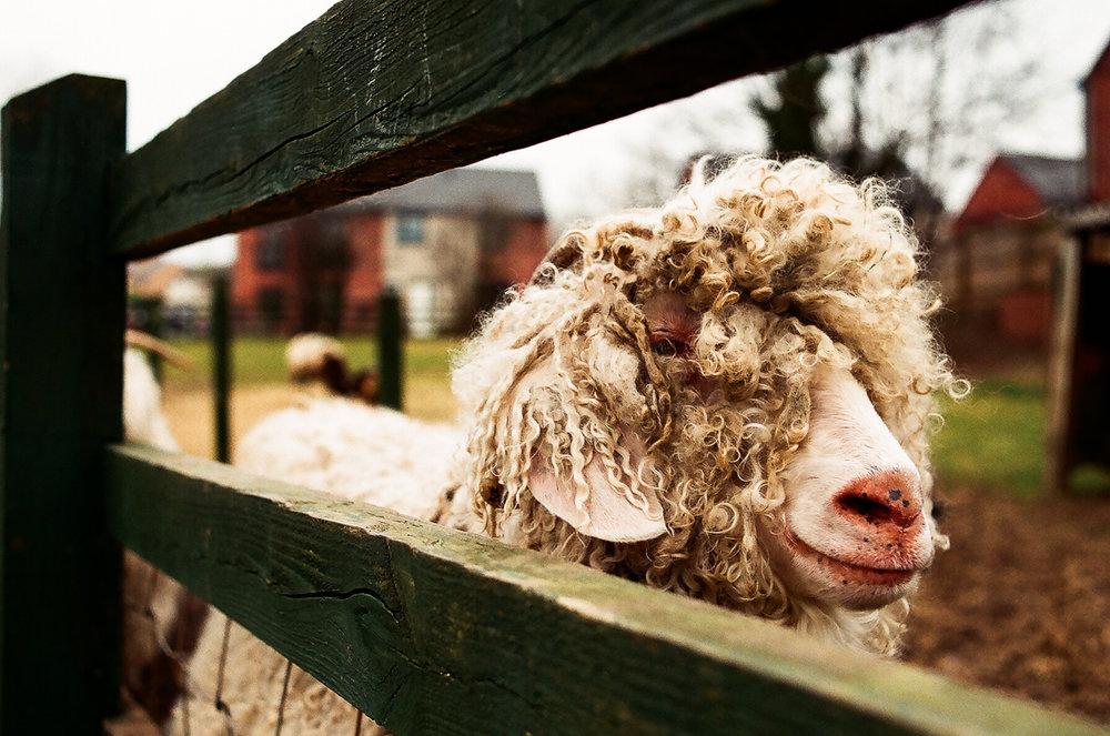AGFA-200-sheep-portrait