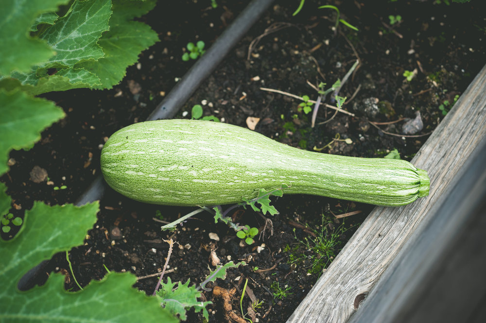 courgette-harvest.jpg