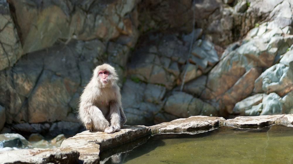 yudanaka-snow-monkey-japan.jpg