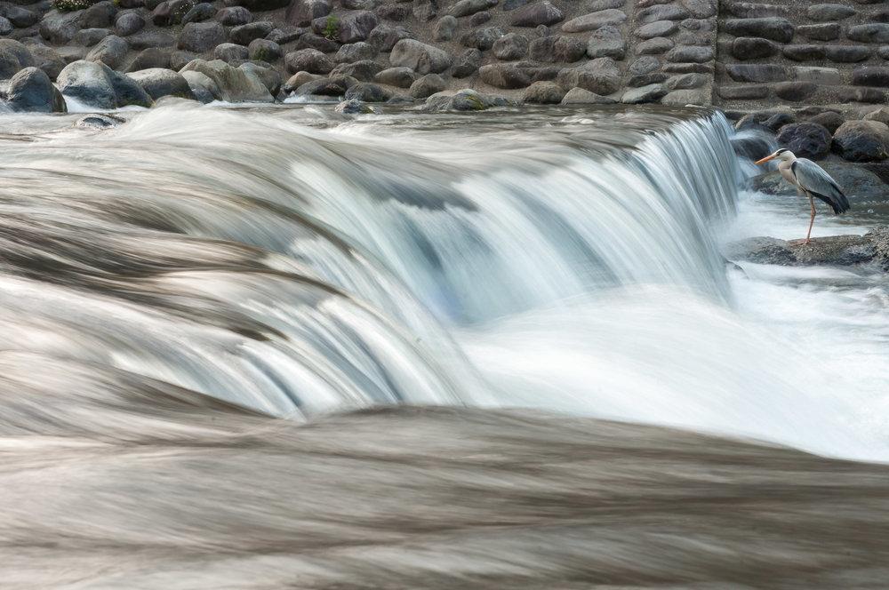 heron-stalking-river-japan-fishing-pierre-melion (1 of 1).jpg