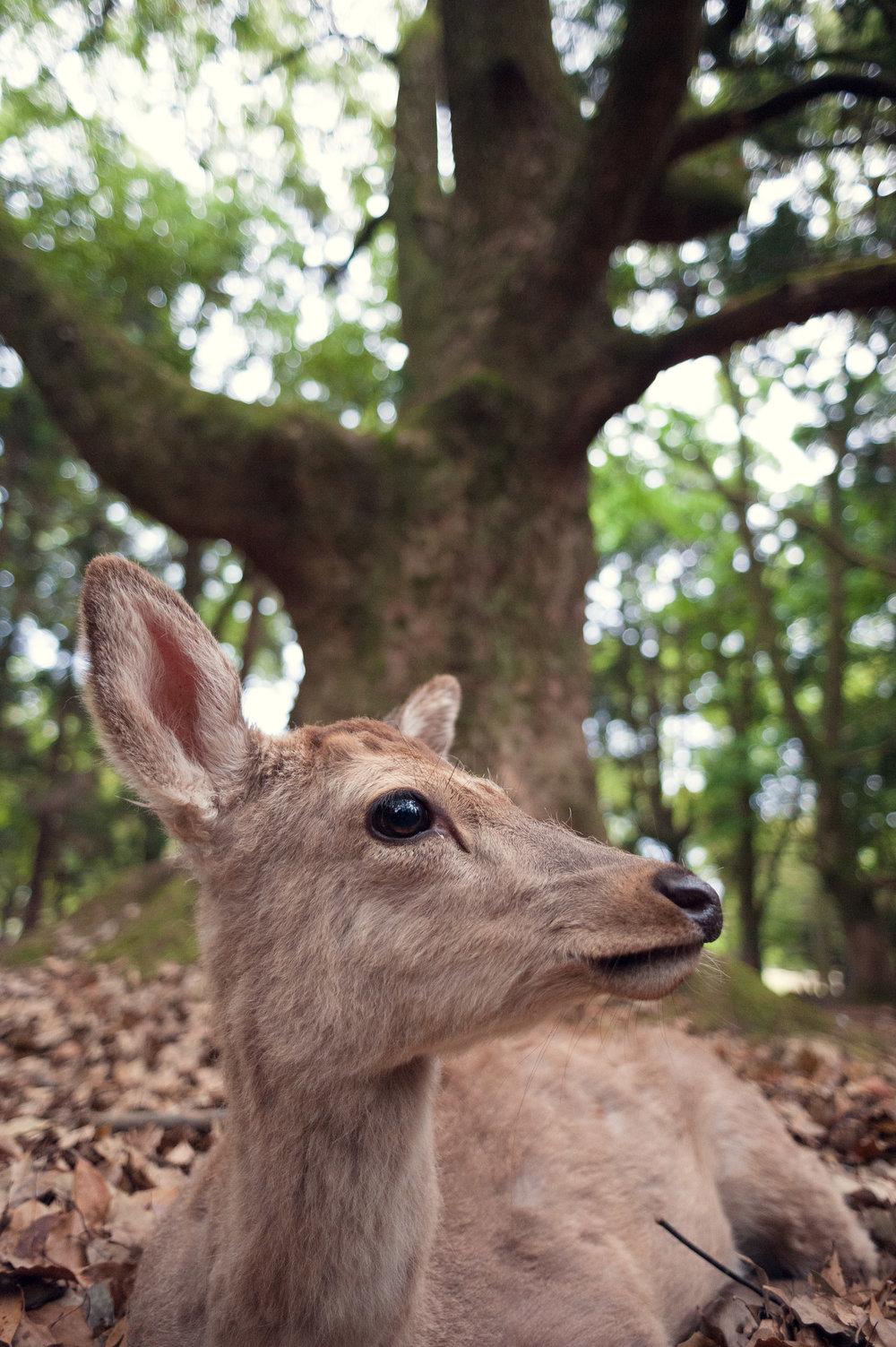 nara-deer-photography-japan-kyoto-osaka-pierre-melion (1 of 1).jpg