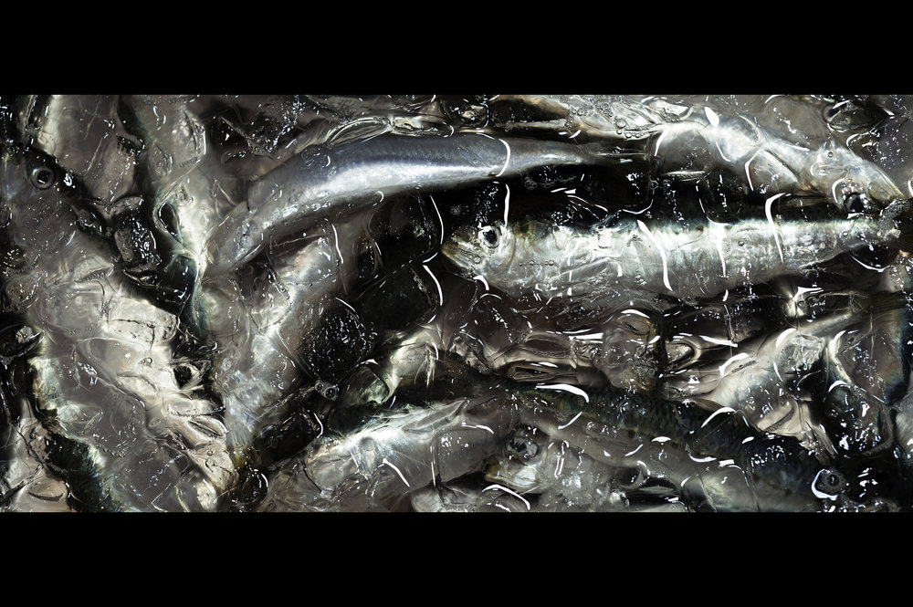 sardines-in-clear-ice.jpg