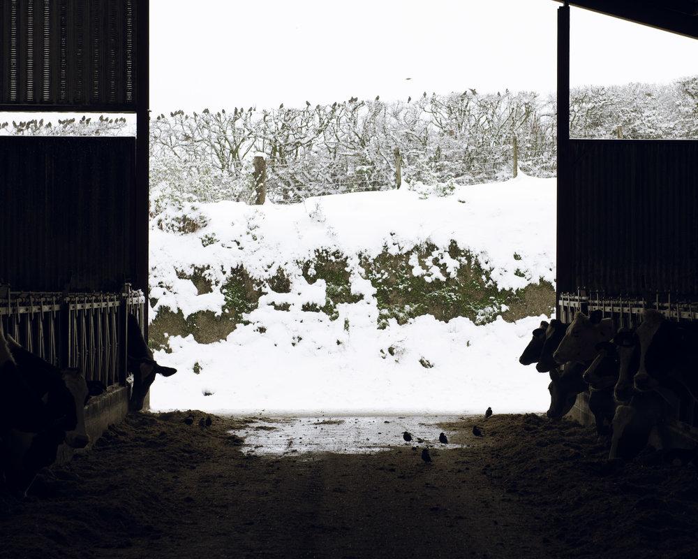dairy-farm-satarling-barn-sow-cows (1 of 1).jpg