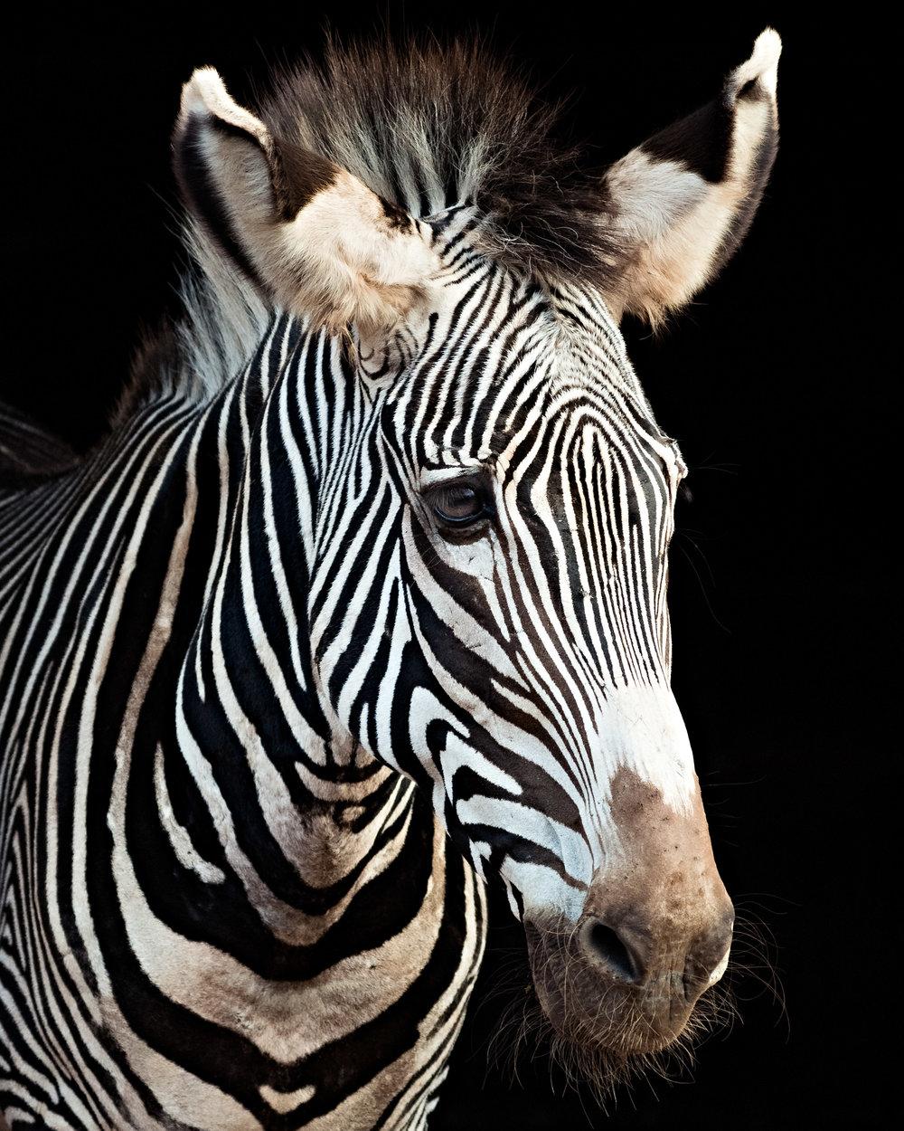 Zebra-portrait-pierre-melion (1 of 1).jpg