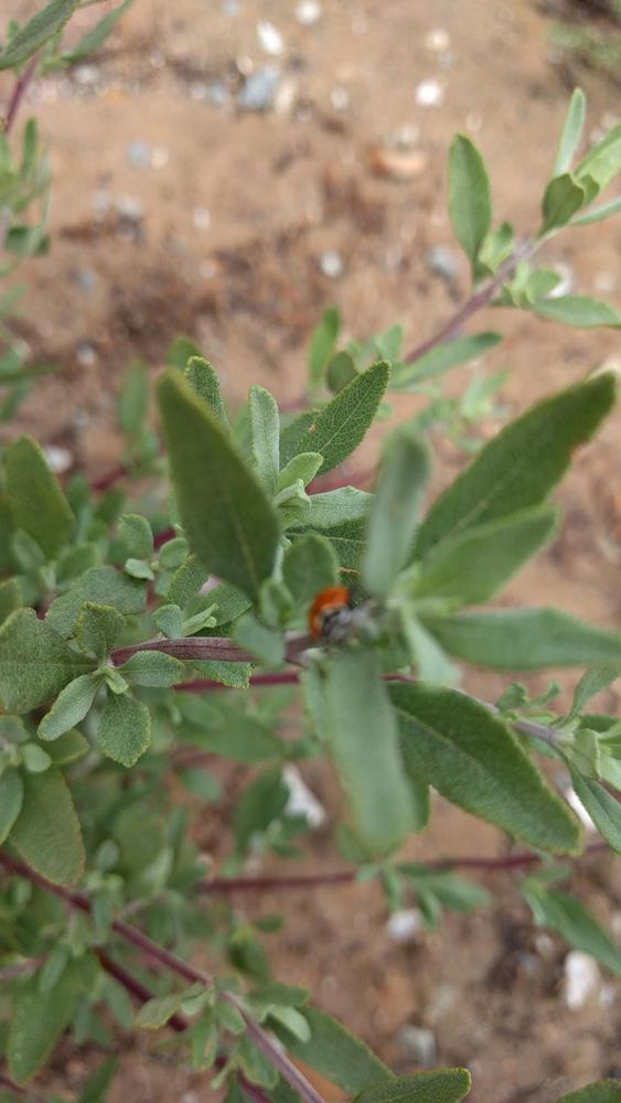 WISEBURN-Salviaclev-ladybug.jpg