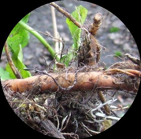 Dandelion-root.png