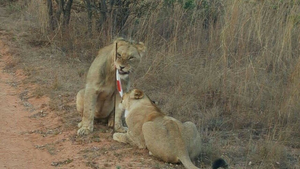 The lions were chewing on our mile markers  (photo credit - Big Five Marathon FB page)