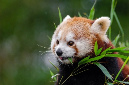 red-panda-1182078_640.jpg