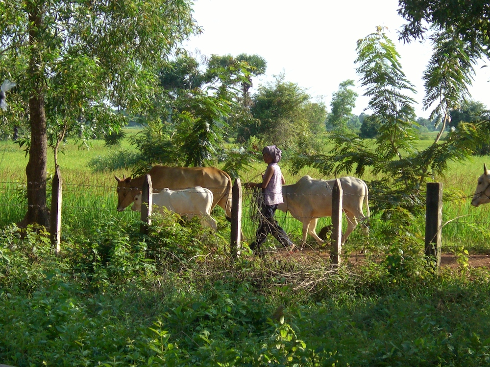 A mother tends a neighbor's cows