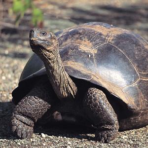 galapago_giant_tortoise.jpg