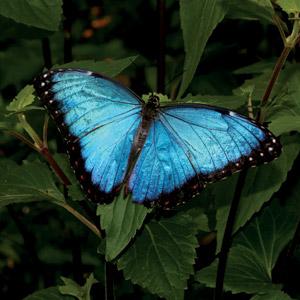 peruamazon_bluebutterfly.jpg