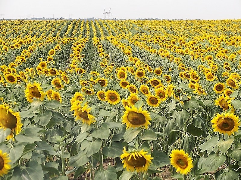 Sunflowers800x600.jpg
