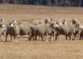 South-Africa-2-Sheep-280x200.jpg