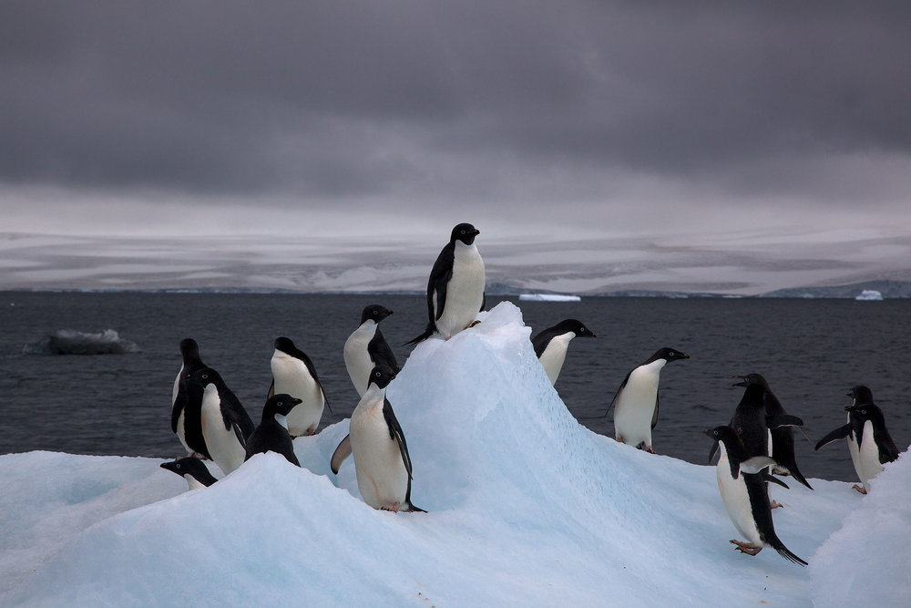 Adelie_Penguins_on_iceberg.jpg