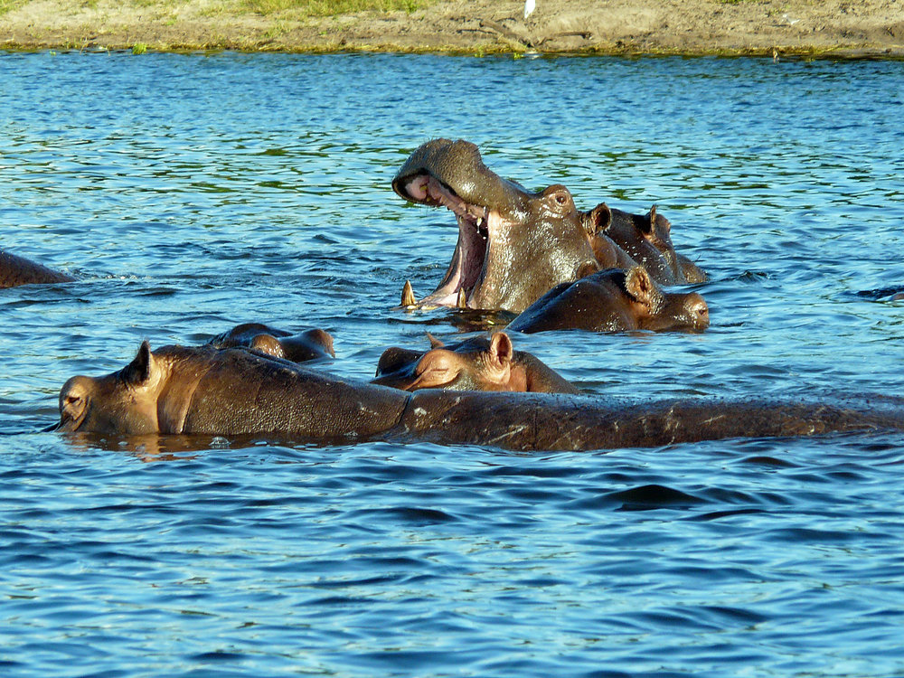 hippo_in_water_2011.JPG