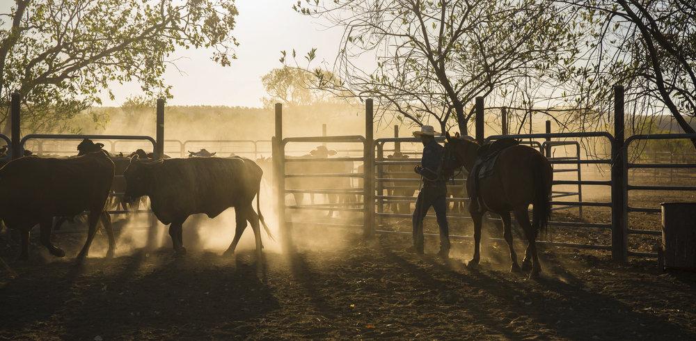 iStock_000070839783_Cattle mustering.jpg