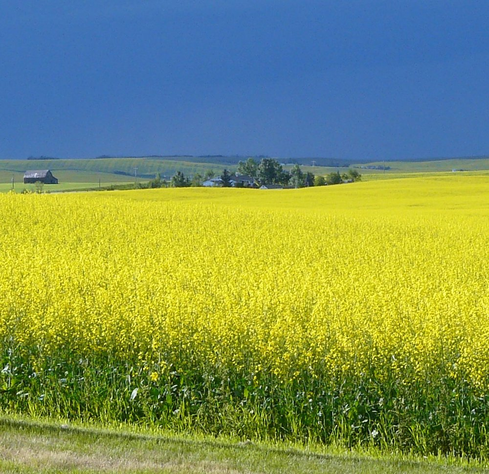 Canola field and Rain clouds.JPG