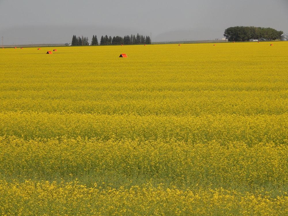 Ripe Canola Field, Alberta.JPG