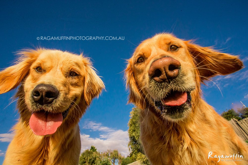Happy Golden Retrievers - Giles and Nigel