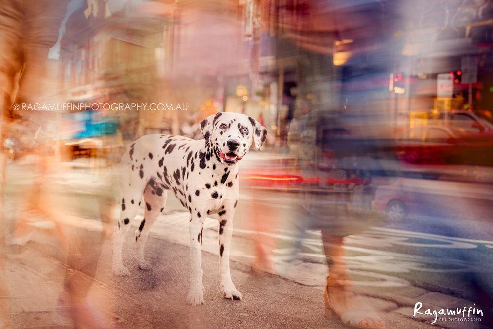 Dalmatian in the City
