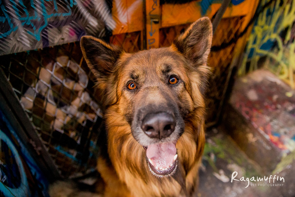 german-shepherd-hosier-lane