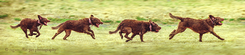 Dog Running by Melbourne Pet Photographer