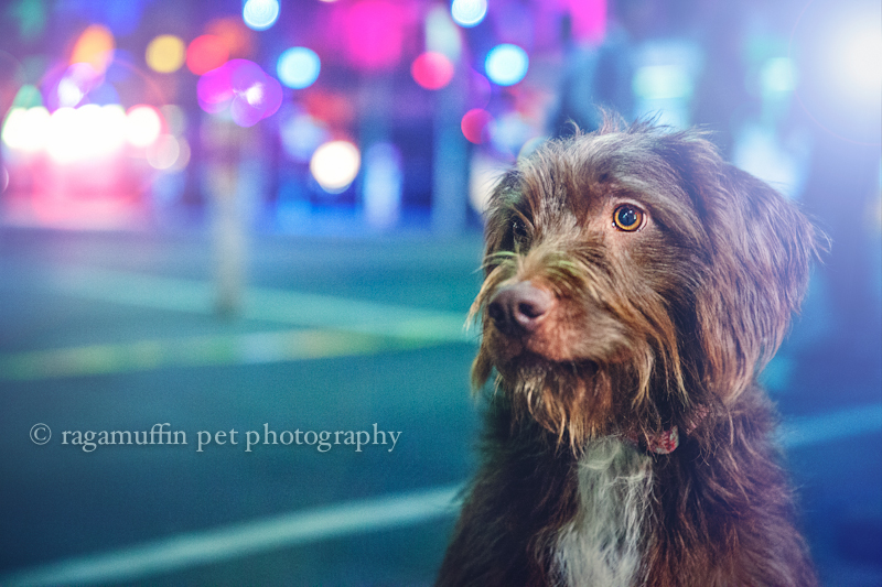 Melbourne Pet Photography - Dog in the City