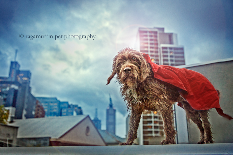 Superdog by Melbourne Pet Photographer