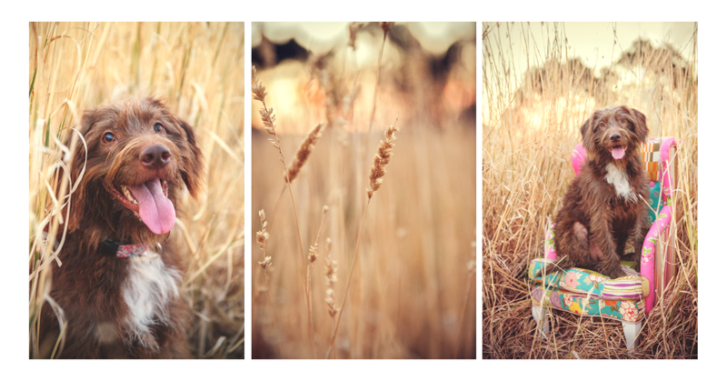 pet photography melbourne - dog in field with chair