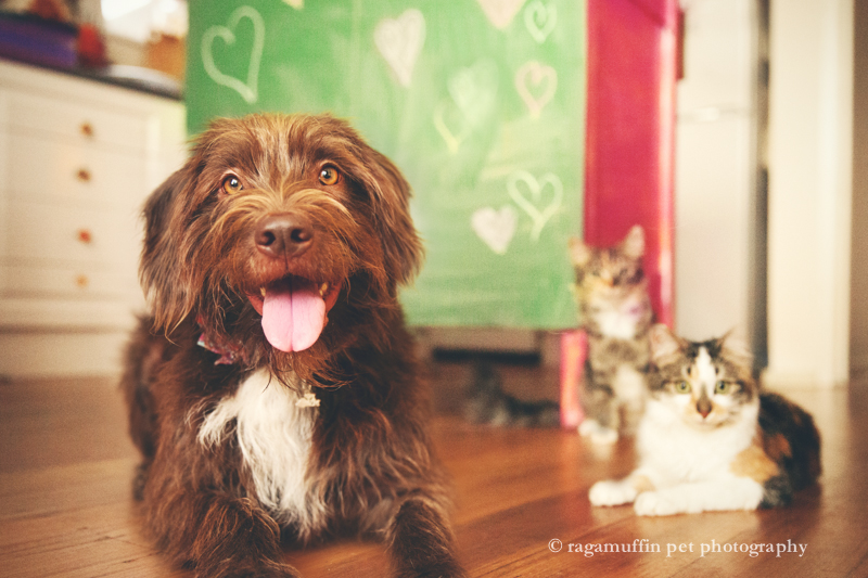 The Cats and Dogs of Melbourne Pet Photographer, Ragamuffin Pet Photography