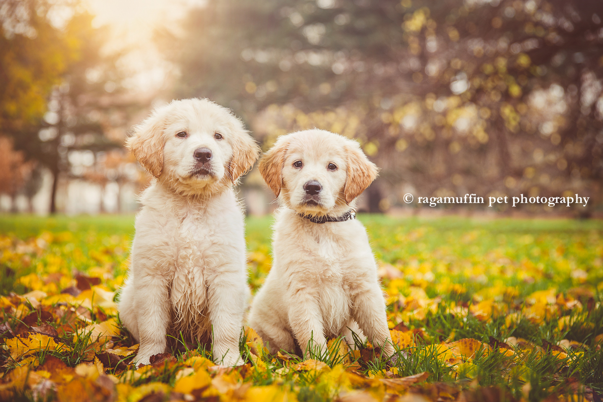 yellow labrador puppy and golden retriever puppy in Melbourne