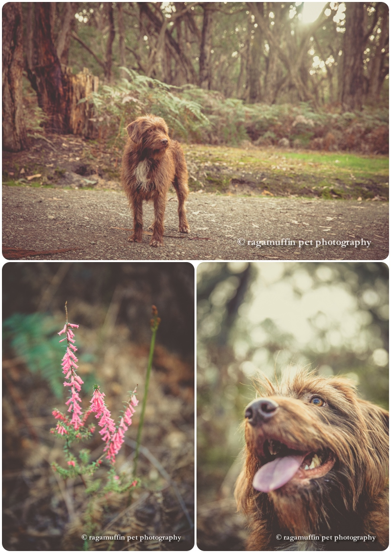 Australian Dog in Victoria - dog photography