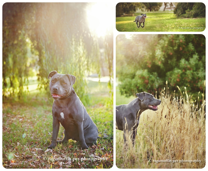 Professional Dog Photographer, Caitlin McColl of Ragamuffin Pet Photography photographs an adorable grey Staffy Puppy in Melbourne as a surprise gift for his Mum. Dog Photography - Grey Staffy in Melbourne