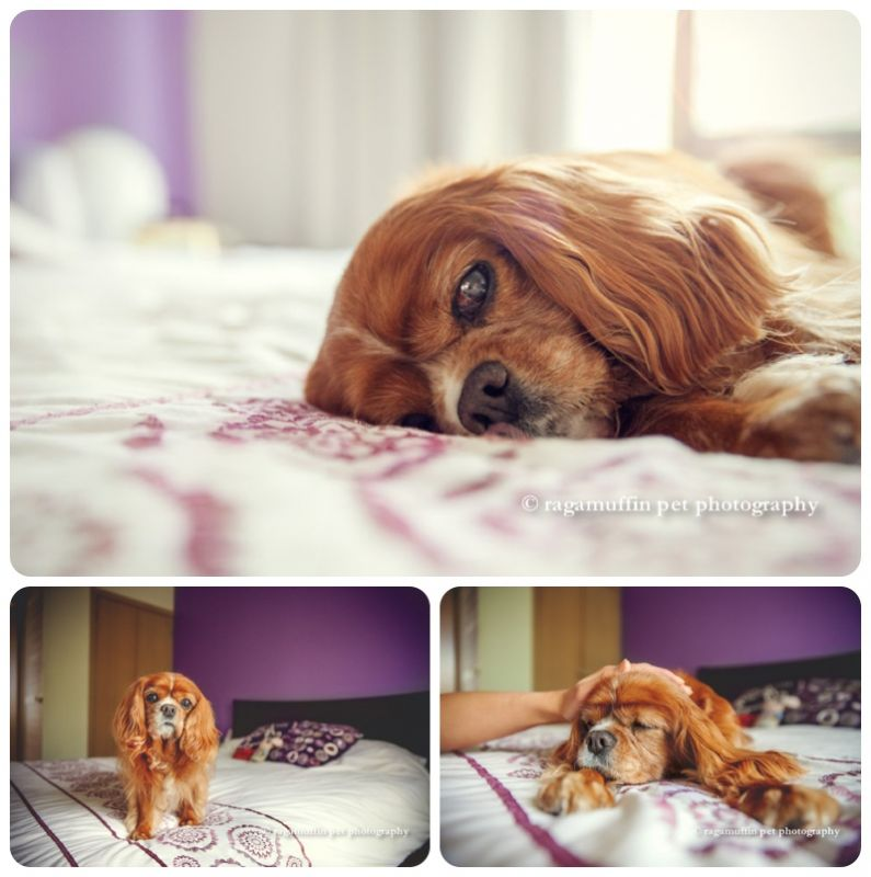 Cavalier King Charlles Spaniel Lying in Bed in Melbourne