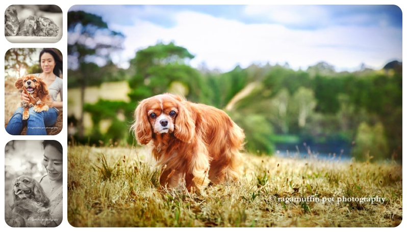 Cavalier King Charles Spaniel by Ragamuffin Pet Photography Templestowe