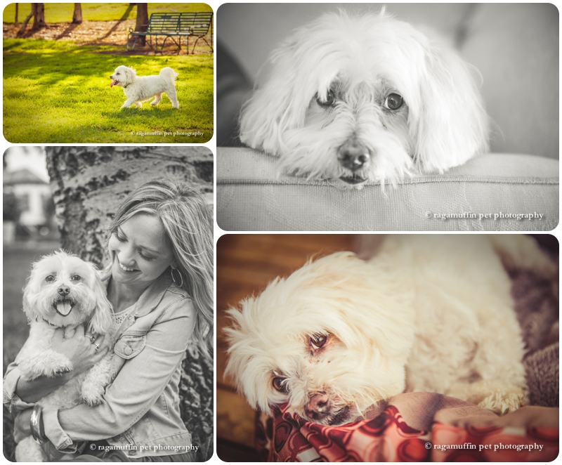Hamish, the Maltese x Bichon, photographed by Ragamuffin Pet Photography in Melbourne