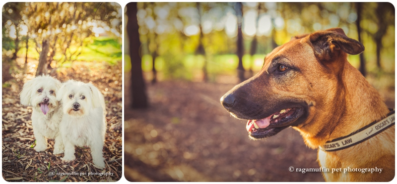 Melbourne dog photography