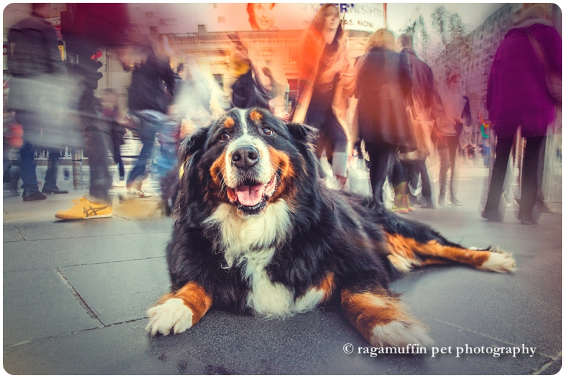 Bernese Mountain Dog in Melbourne CBD