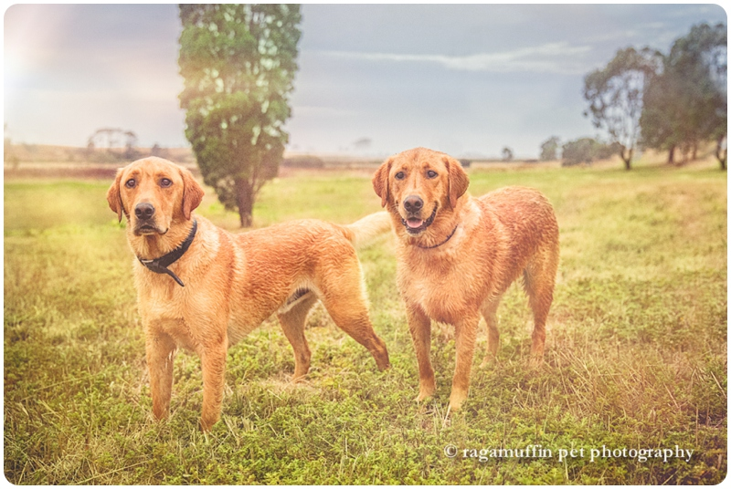 Geelong Dog Photography - two labrador dogs