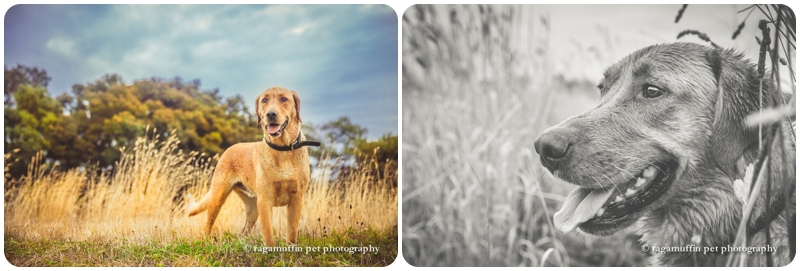 Geelong dog photography in grass field